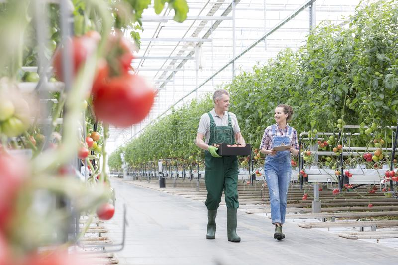 Coworkers discussing while walking amidst tomato plants in greenhouse royalty free stock images