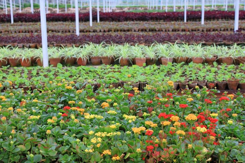 Flower nurseries grown in greenhouse royalty free stock photo