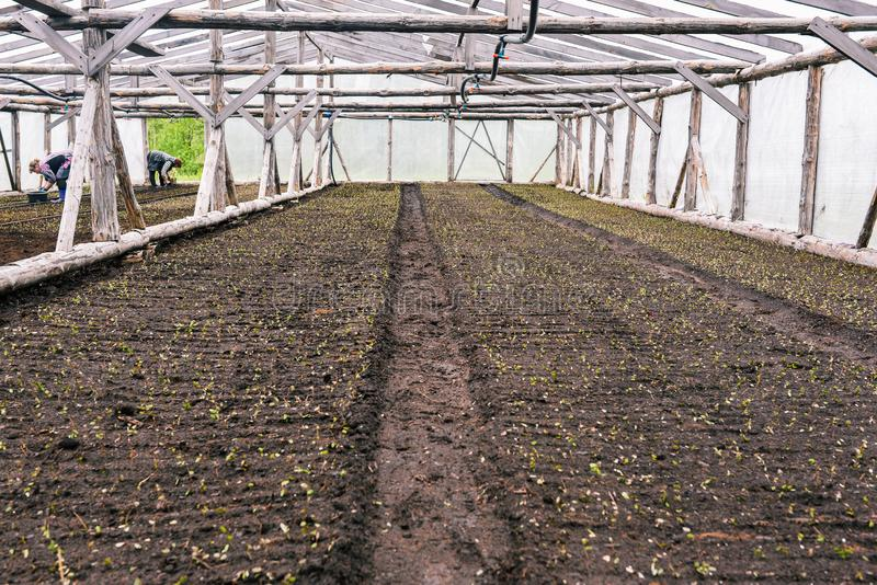 Greenhouse on the farm where they grow plants, vegetables and flowers. Young sprouts in the ground. Planting seedlings in the stock images