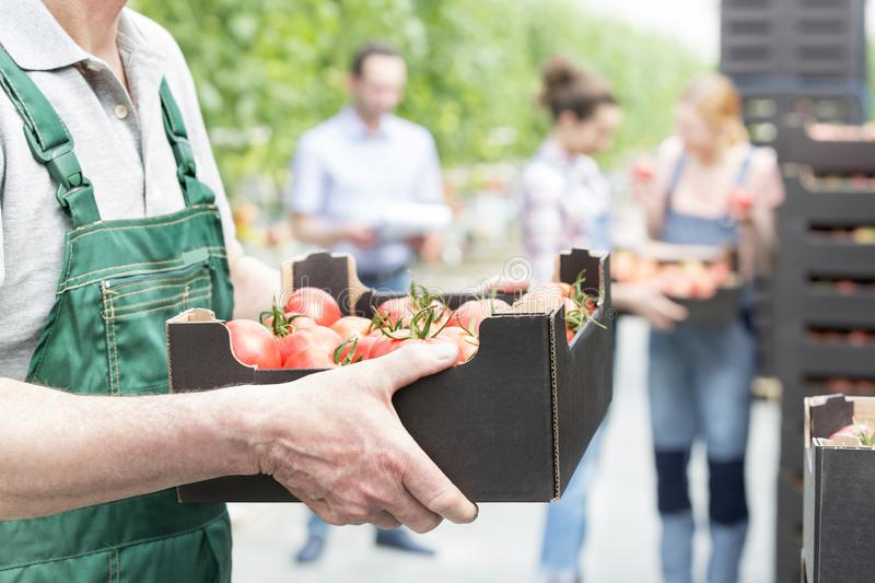 Farmer holding tomatoes in crate with coworkers in background stock photos