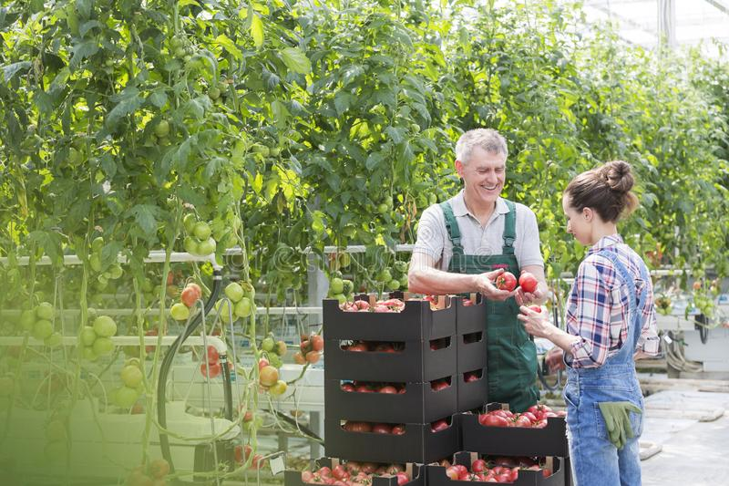 Farmers examining organic tomatoes by plants in greenhouse royalty free stock photography