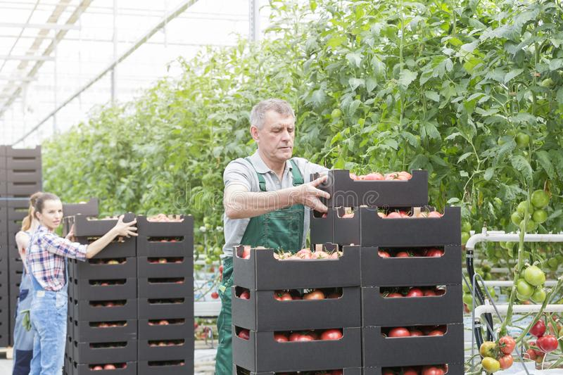 Farmers stacking crate of tomatoes by plants in farm royalty free stock photo