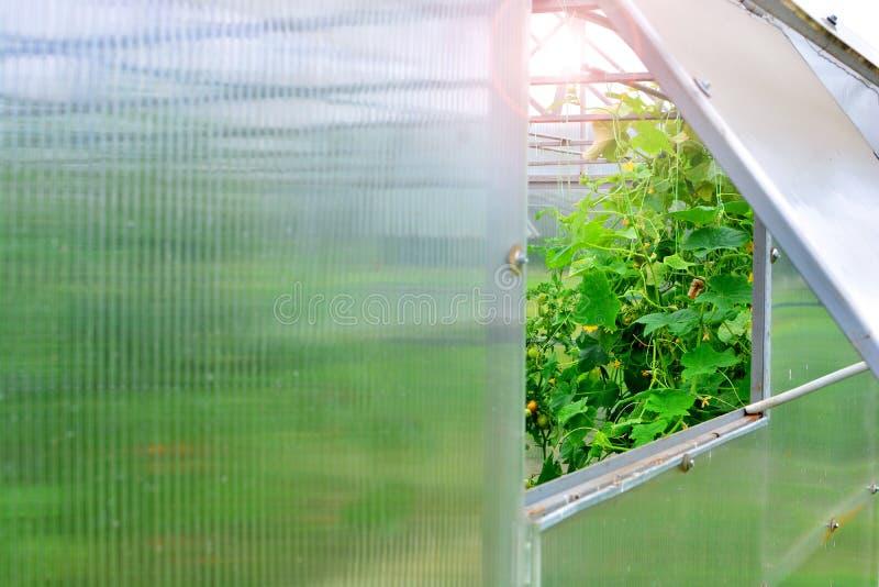 greenhouse Fenêtre ouverte dans la serre image libre de droits