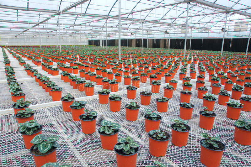 Greenhouse flower cultivation royalty free stock images