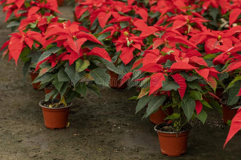 Greenhouse full of Christmas poinsetta flowers stock photos