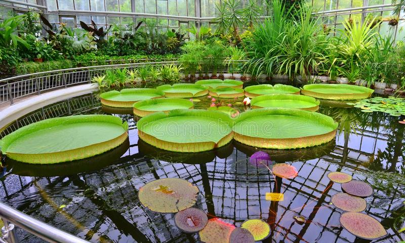 Greenhouse - Giant water lily royalty free stock images