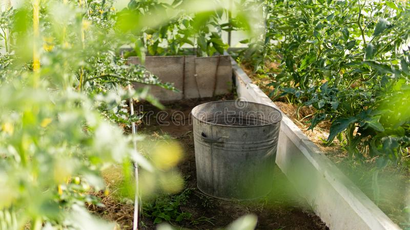Greenhouse with green flowering tomatoes and peppers royalty free stock image