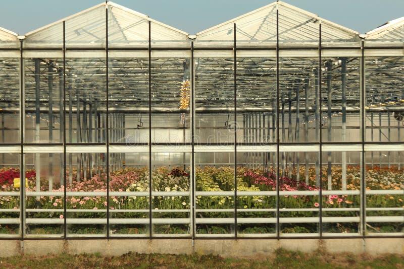 Greenhouse in Nieuwerkerk aan den Ijssel in the Netherlands with growing all colors of Gerbera flowers royalty free stock photography