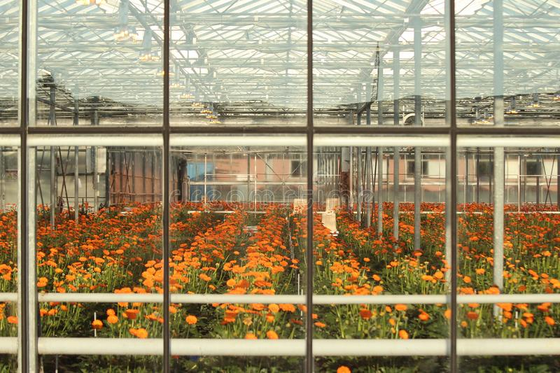 Greenhouse in Nieuwerkerk aan den Ijssel in the Netherlands with growing all colors of Gerbera flowers stock photo