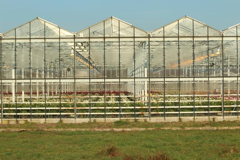 Greenhouse in Nieuwerkerk aan den Ijssel in the Netherlands with growing all colors of Gerbera flowers royalty free stock image