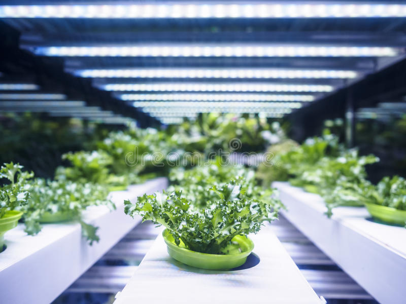 Greenhouse Plant row Grow with LED Light Indoor Farm Agriculture. Technology royalty free stock image