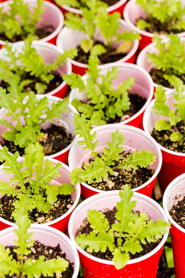Greenhouse. Plants in small containers in the greenhouse stock image