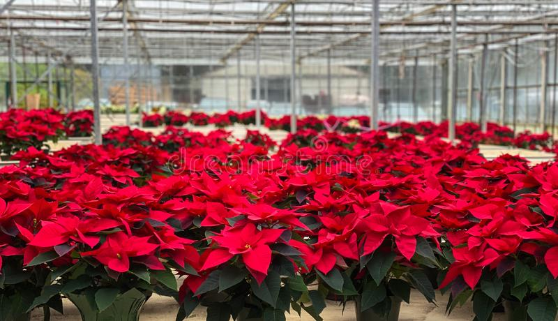 Greenhouse poinsettia red Christmas flower stock photos