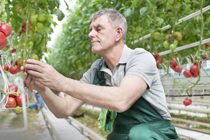 Senior man examining tomatoes at greenhouse stock photos