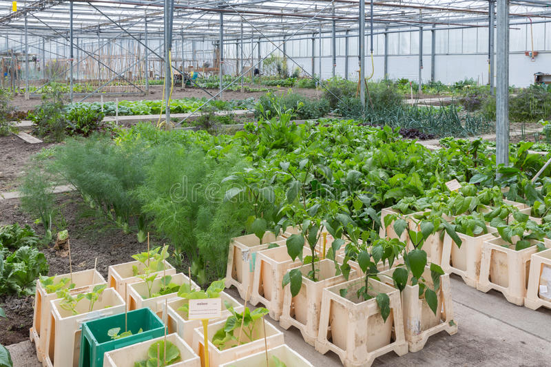 Greenhouse with several small vegetable gardens. Dutch Greenhouse with several small community allot gardens stock photography