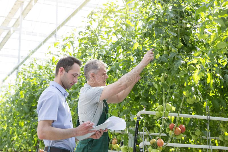 Supervisor making report while farmer showing tomatoes in greenhouse royalty free stock images