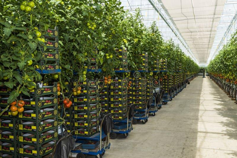 Greenhouse Tomato Harvest stock photo