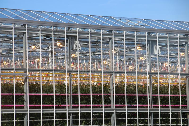 Greenhouse with tomato plants nursery with orange lights on top and LED lights in between for faster growth. Greenhouse with tomato plants nursery with orange stock photography