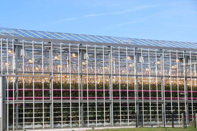Greenhouse with tomato plants nursery with orange lights on top and LED lights in between for faster growth. Greenhouse with tomato plants nursery with orange royalty free stock images