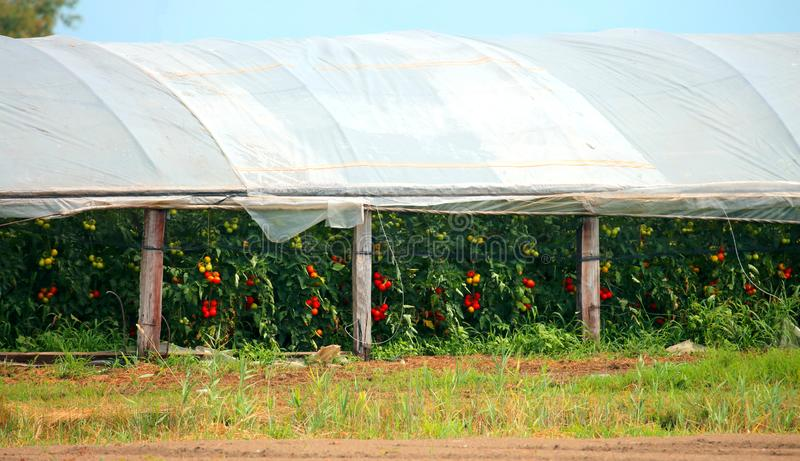 Greenhouse with tomato plants and other vegetables stock image