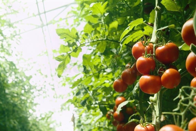 Greenhouse tomatoes stock photo