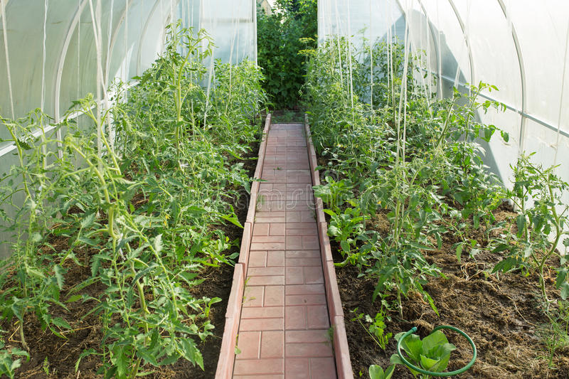Greenhouse with tomatoes royalty free stock photography