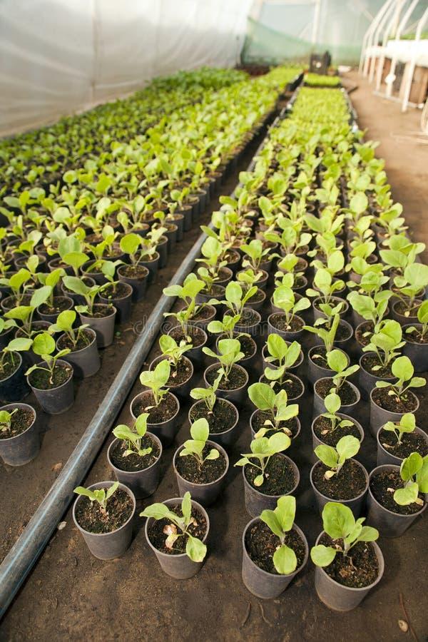 Greenhouse For Vegetables   Eggplant