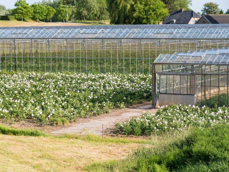 Greenhouses of flower nursery in polder of Bommelerwaard, Nether. Blooming flowers and greenhouses of flower farm near Nieuwaal in Bommelerwaard, Gelderland stock image