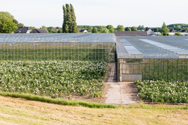Greenhouses of flower nursery in polder of Bommelerwaard, Nether. Blooming flowers and greenhouses of flower farm near Nieuwaal in Bommelerwaard, Gelderland stock images