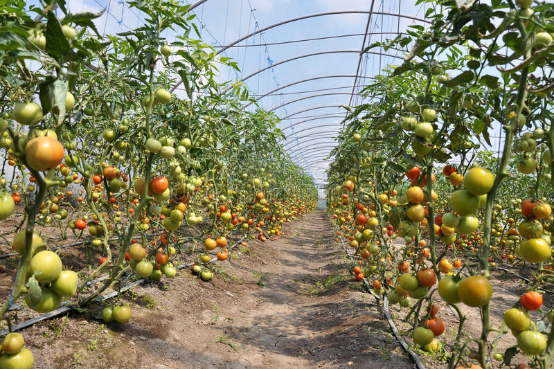 Greenhouses for growing tomatoes stock photos