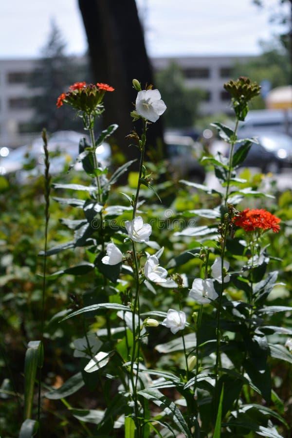 Greening urbano Las flores rojas hermosas del chalcedonica de Lychnis y los bellflowers blancos crecen en yarda de la ciudad El c imágenes de archivo libres de regalías