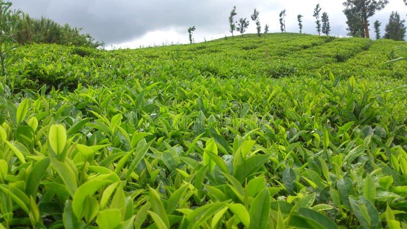 Greenish Tea Garden royalty free stock photos