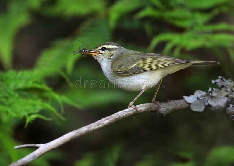 Greenish warbler royalty free stock images