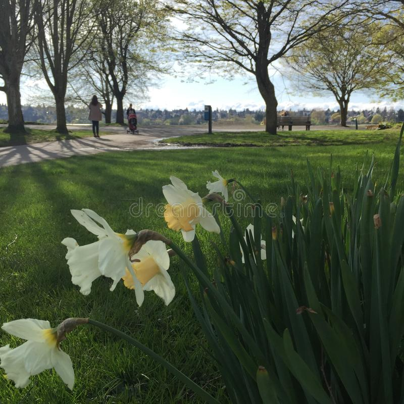Greenlake Seattle Spring. Spring park scene grass daffodils royalty free stock photography