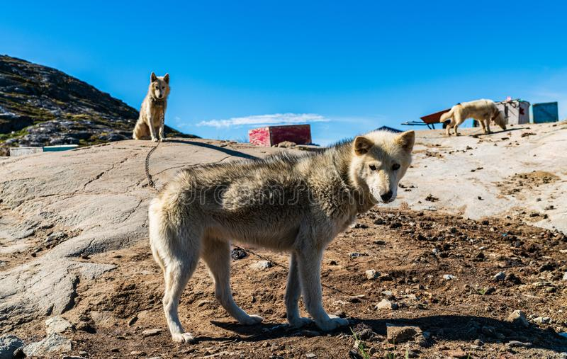 Greenland dogs - husky sled dog in Ilulissat Greenland stock images