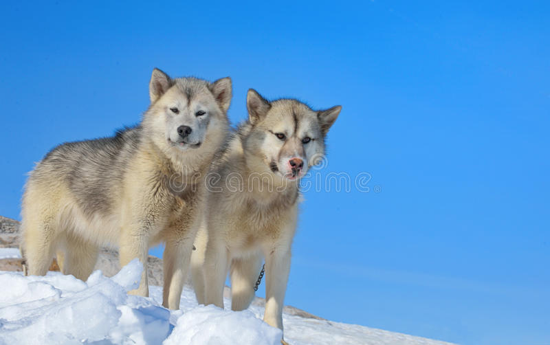 Greenland dogs royalty free stock photos