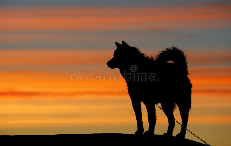 Greenland sledge dog. Sledge dog in the town of Ilulissat in western Greenland stock images