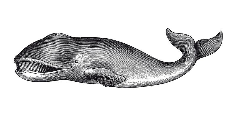 Greenland Whale Engraving Vintage Illustration. Full Vector illustration Illustration of a beautiful Vintage Greenland Whale Engraving stock illustration