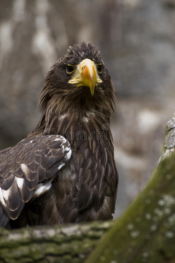 Greenland White-tailed Eagle. Looks forward royalty free stock images