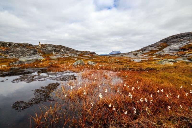 Greenlandic orange tundralandskap för höst med träsk, vita blommor och stenar i bakgrunden, Nuuk royaltyfria bilder
