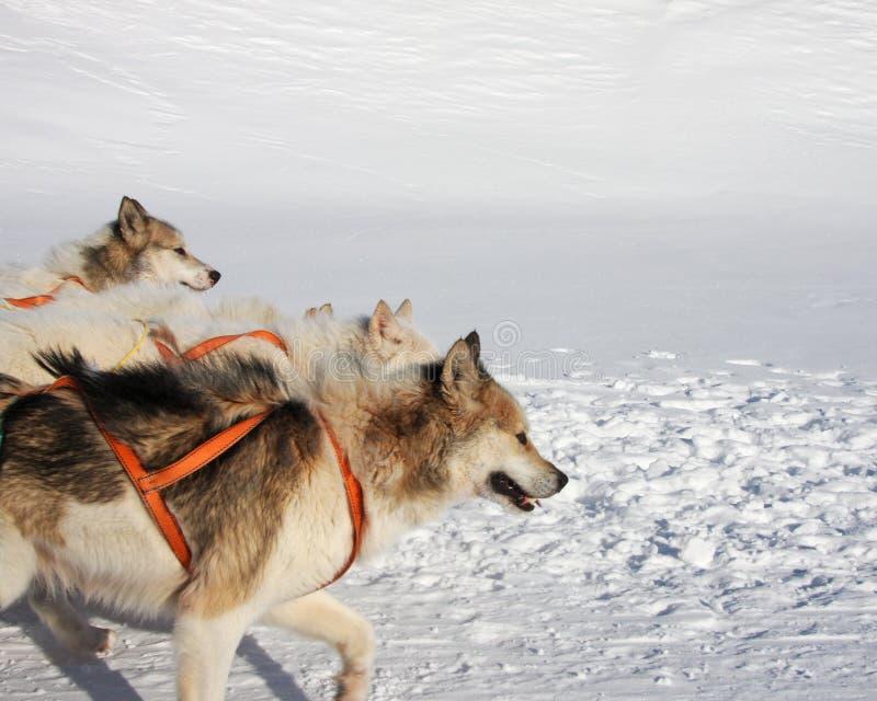 Greenlandic Schlittenhunde lizenzfreies stockbild