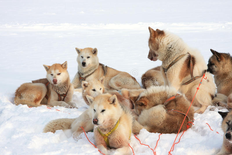 Greenlandic sled dogs stock photos