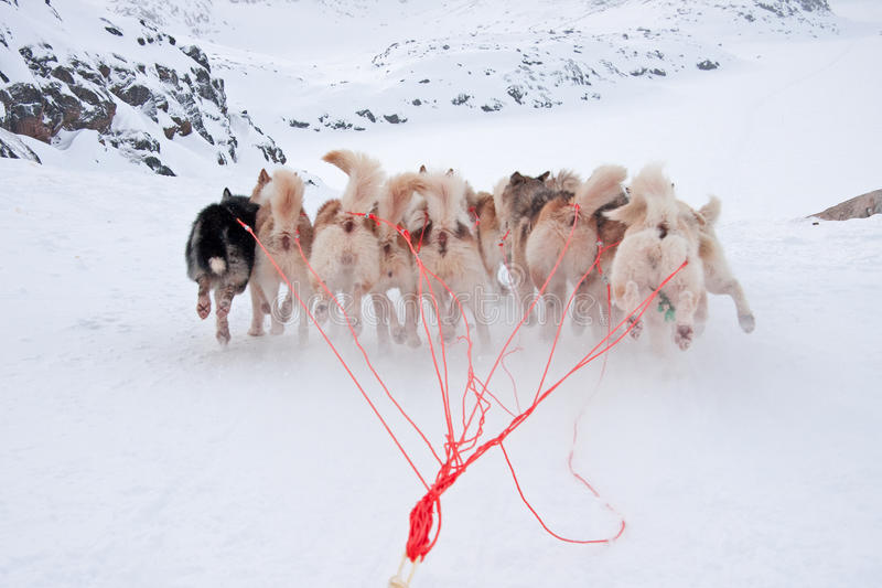 Download Greenlandic Sled Dogs Running Royalty Free Stock Photos - Image: 16668688