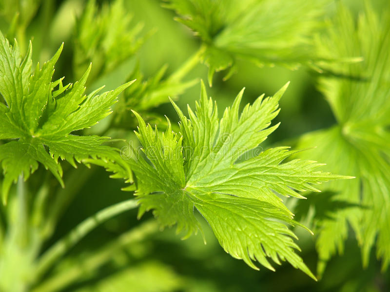 Download Greenleaf obraz stock. Obraz złożonej z światło, roślina - 13338017