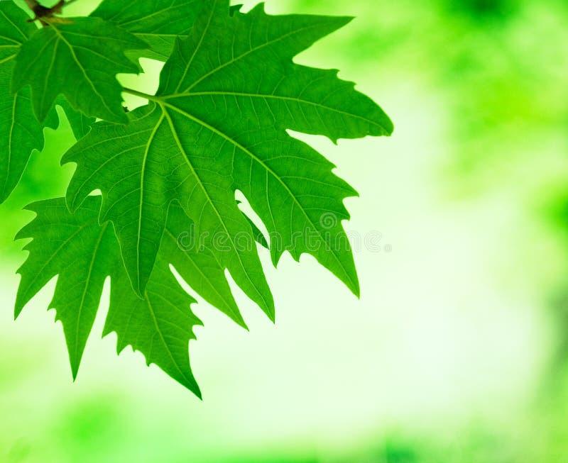Greenleaves, grund fokus arkivbild