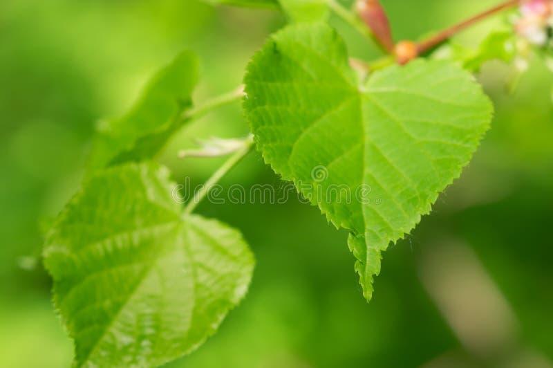 greenleaves kalkar treen arkivfoton