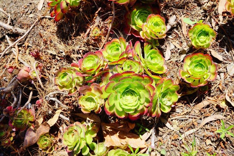 Greenovia aurea royaltyfri bild