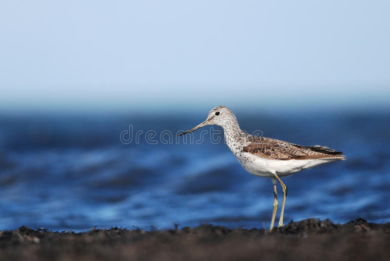 Greenshank. Common Greenshank or Greater Greenshank by the sea in Estonia stock images