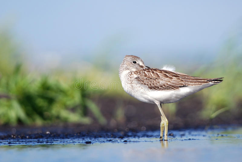 Greenshank. Cleaning feathers by the seashore royalty free stock image