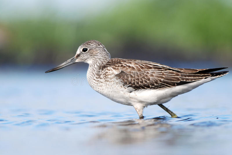 Greenshank in water. Common Greenshank wading near the shore royalty free stock photos
